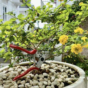 Chăm tỉa bonsai cây cảnh bằng kéo cắt tỉa cành FELCO 6